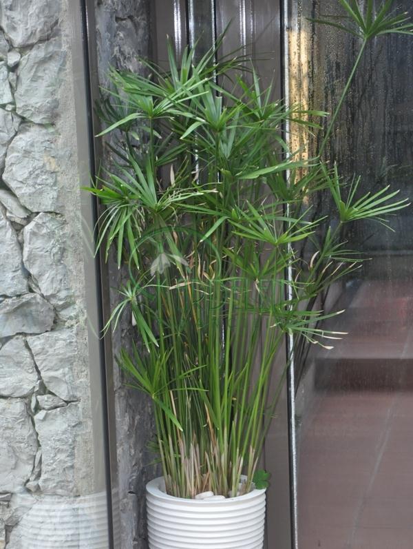 Cyperus alternifolius japon emsiyesi for Plantas para estanque exterior